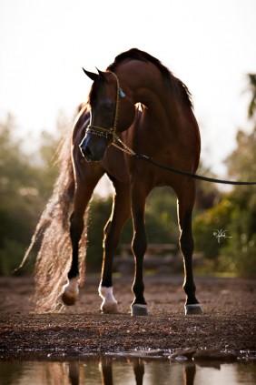 Bey Ambition Rae Dawn Arabians