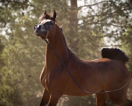 Rd Azeem Rae Dawn Arabians