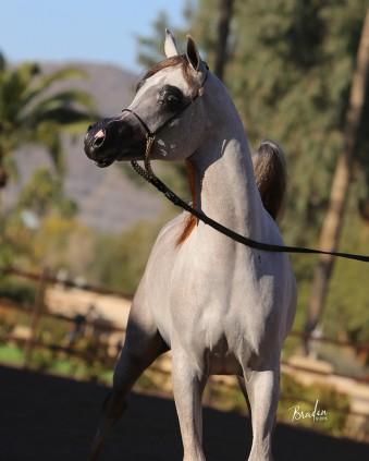 Rd Capriotti Rae Dawn Arabians