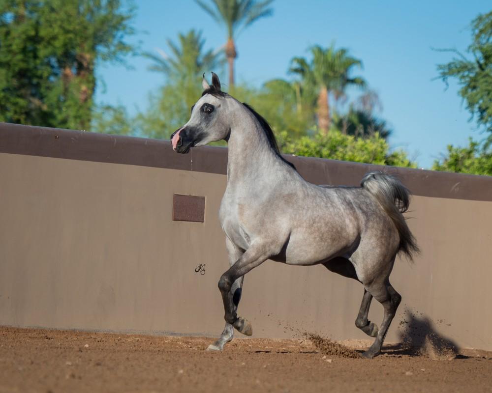 RD Quianna :: Rae-Dawn Arabians