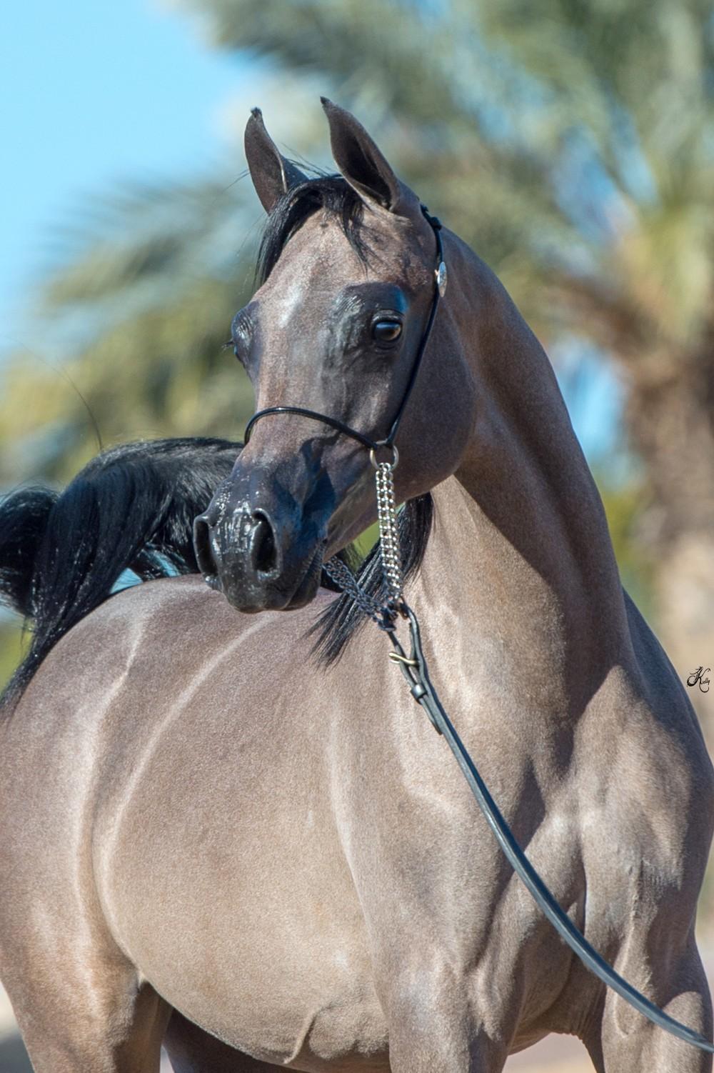Rd Ambryelle Rae Dawn Arabians