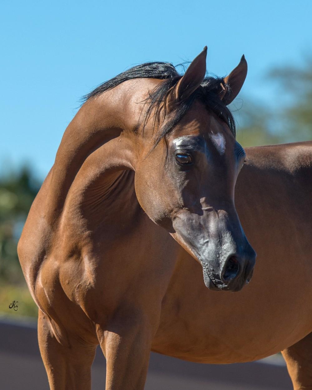 Rd Maarionna Rae Dawn Arabians