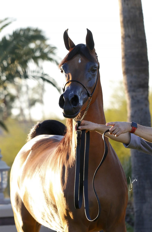 Natalia Pcf Rae Dawn Arabians